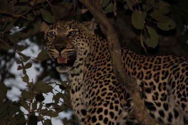 Drømmeferie – safari